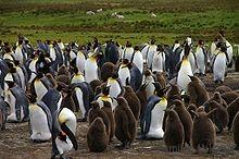 Argentine îles malouines manchots royaux avec leurs petits