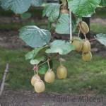 Le kiwi, le fruit