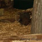 Le kiwi, l'oiseau