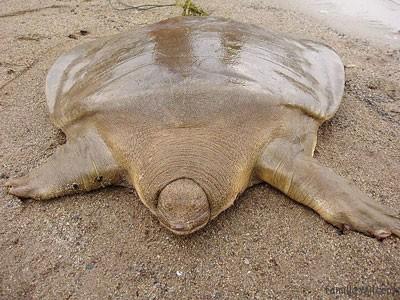 Cambodge tortue